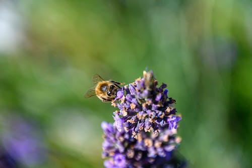 Fotos de stock gratuitas de abeja, bokeh, flor
