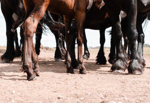 Gratis arkivbilde med bein, dyr, hest, hester