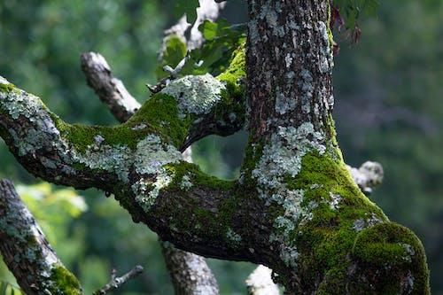 คลังภาพถ่ายฟรี ของ ข้างนอก, ต้นไม้, ต้นไม้ตาย, ตะไคร่น้ำ