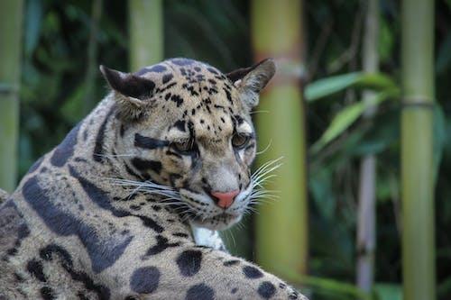 คลังภาพถ่ายฟรี ของ สวนสัตว์, สัตววิทยา, เสือ, เสือดาว