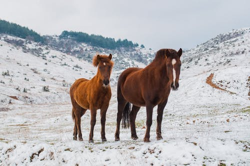 Two Brown Horses on Snowy Field