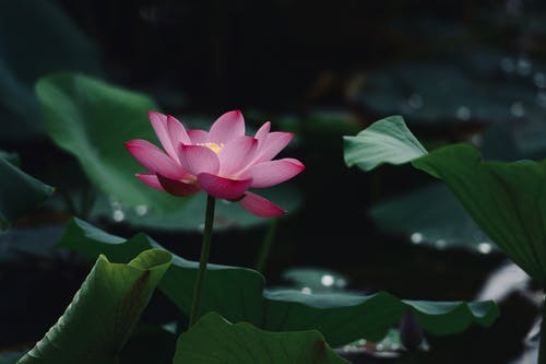Close-Up Photo of Lotus Flower