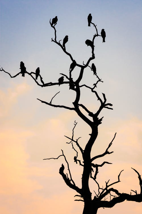 Silhouette Photo of Birds Perched on Bare Tree