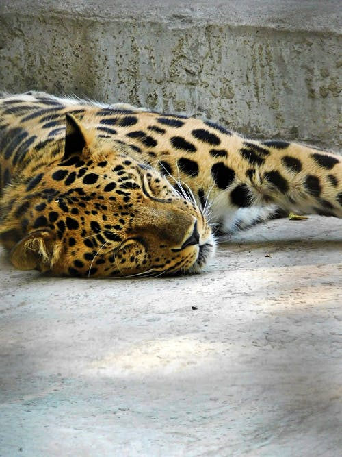 Photo of Leopard Sleeping