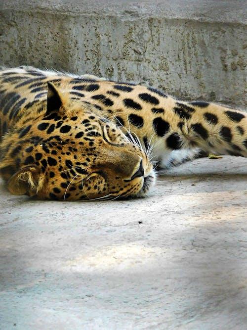 Foto d'estoc gratuïta de Ajagut, animal, bigotis, cara de gat