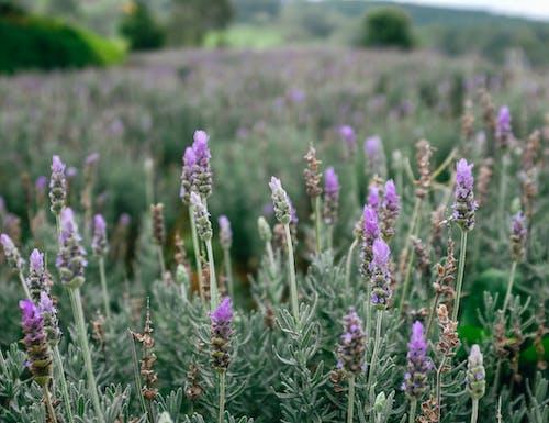 Ilmainen kuvapankkikuva tunnisteilla dalat, kenttä, kukat, laventeli