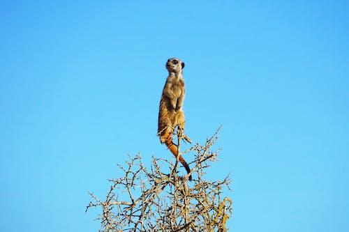 Darmowe zdjęcie z galerii z afryka południowa, czyste niebo, dzika przyroda, inteligentny