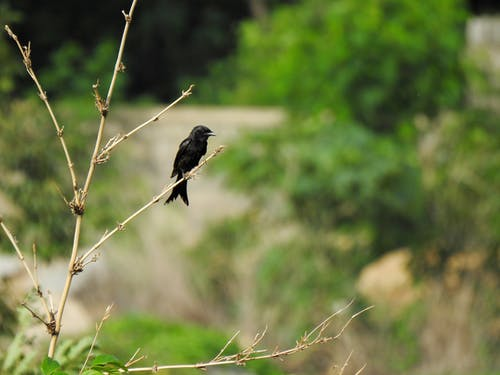Ingyenes stockfotó farok, fekete, fekete drongo, fekete madár témában