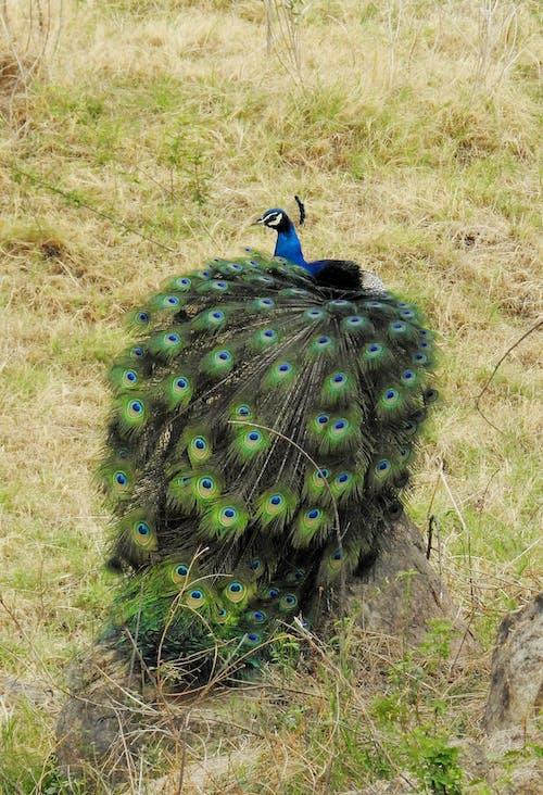 Ingyenes stockfotó frakk, fű, gyönyörű madár, hyderabad témában
