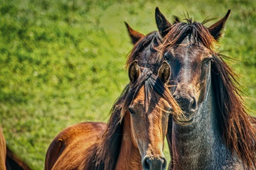 Brown and Black Horses