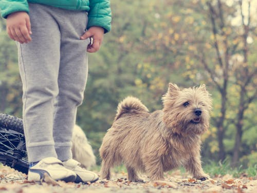 Brown Norwich Terrier on Outdoors