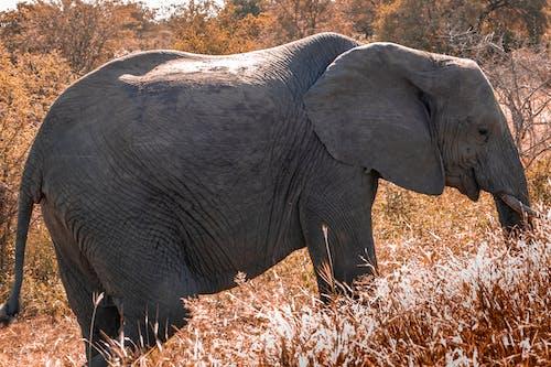 Kostenloses Stock Foto zu afrikanischer elefant