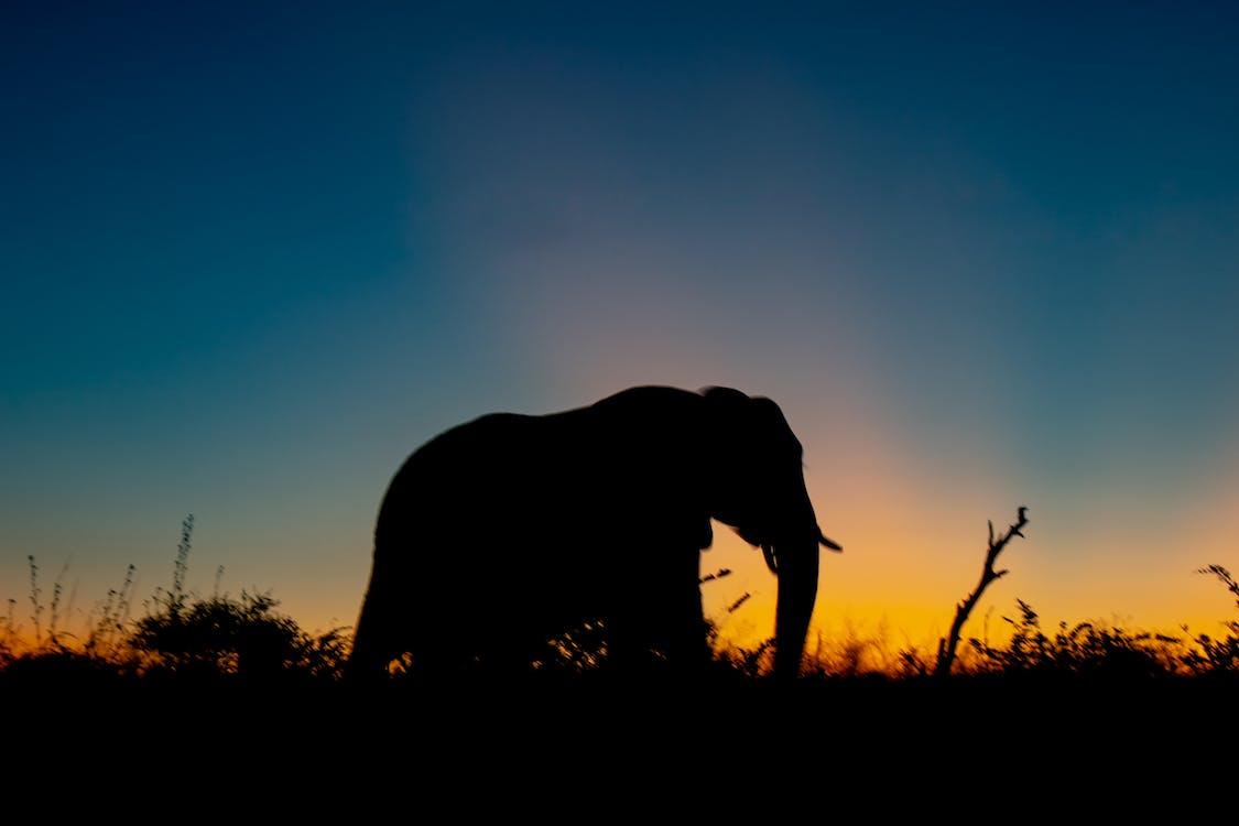 bakgrundsbelyst, elefant, gräs