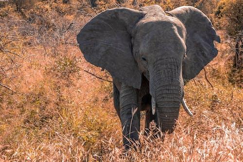 Imagine de stoc gratuită din african elefant, amenințat cu dispariția, animal, arbori