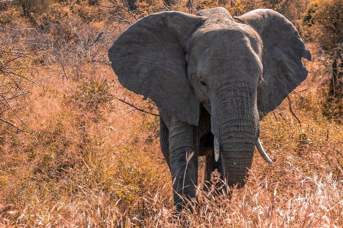 african elefant, amenințat cu dispariția, animal