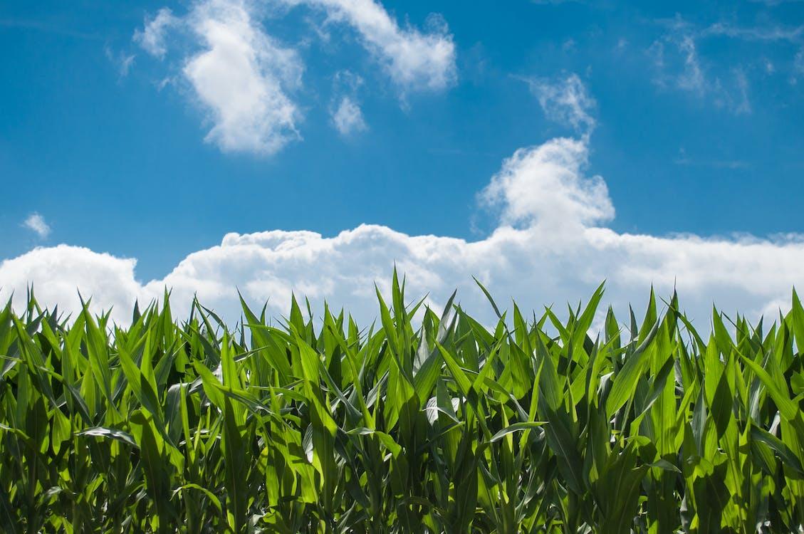 зеленый, зерновое поле, кукуруза