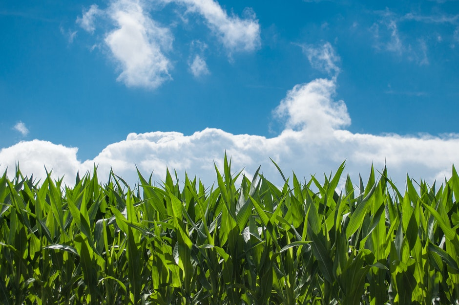 clouds, corn, cornfield