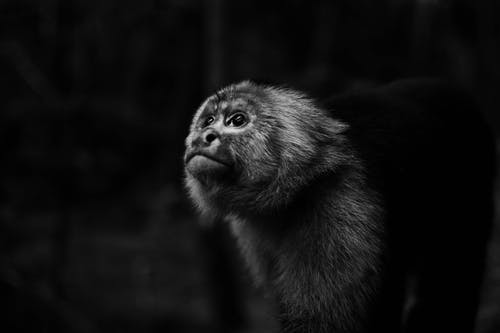 Monochrome Photo of Monkey Looking Upwards