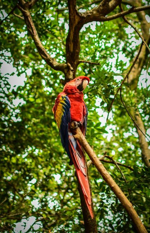 동물의 왕국, 마코앵무새, 새, 스 칼 렛 잉 꼬의 무료 스톡 사진
