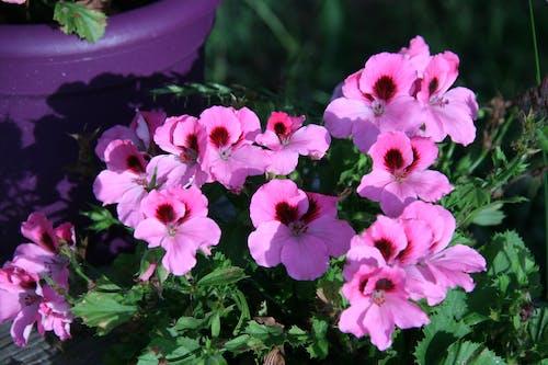 Free stock photo of geranium