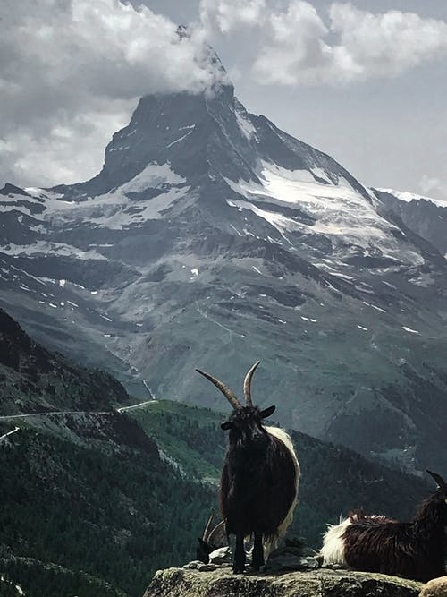 Brown Ram on Top of Mountain