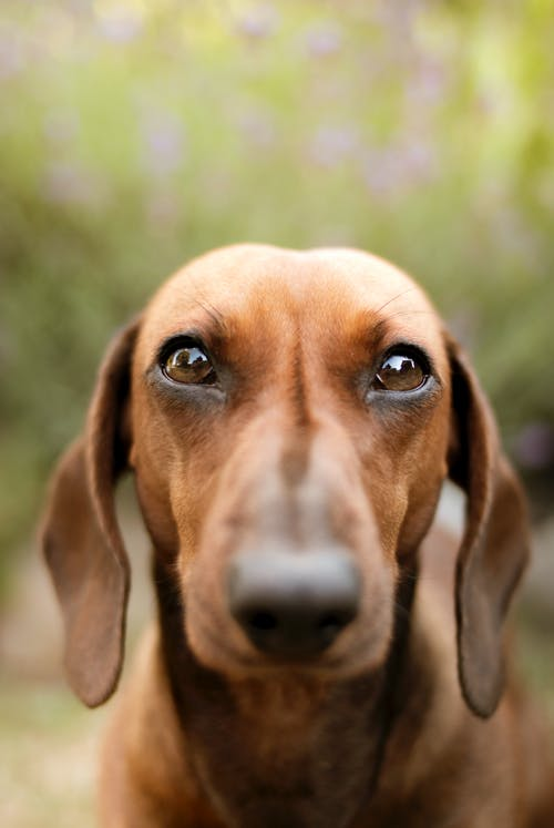 Selective Focus Photo of Brown Dachshund
