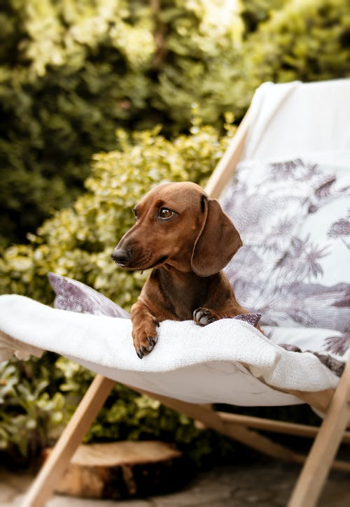 Brown Dachshund on Folding Lounger