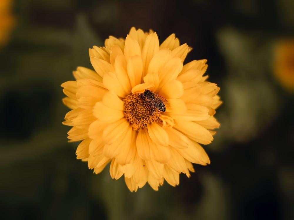 Selective Focus Photo of Honey Bee on Yellow Flower