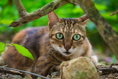 Photos gratuites de animal, chat, vert, yeux