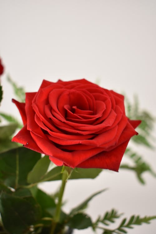 Gratis stockfoto met Rode roos, rood, roos