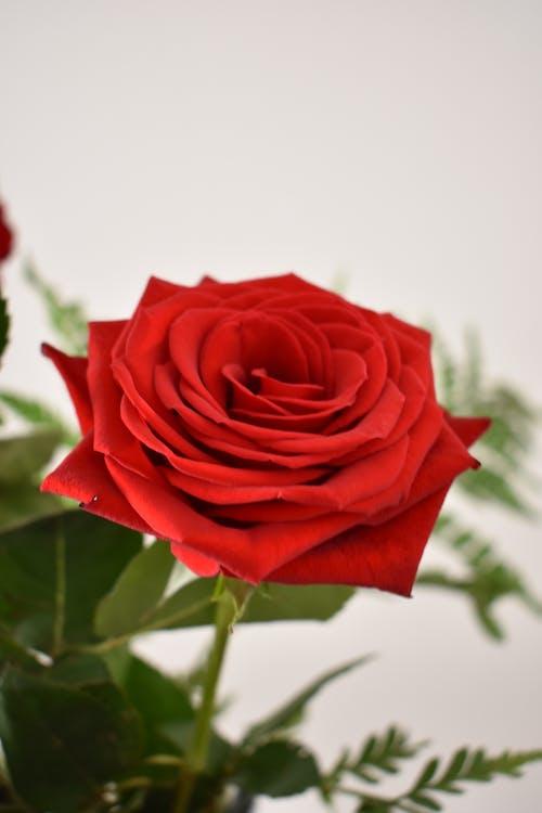 Безкоштовне стокове фото на тему «троянда, червона троянда, червоний»