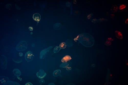 Free stock photo of animal, aquarium, aquatic, aurelia