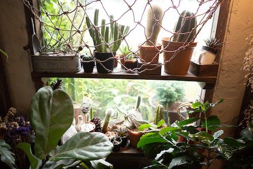 Cacti on Shelves