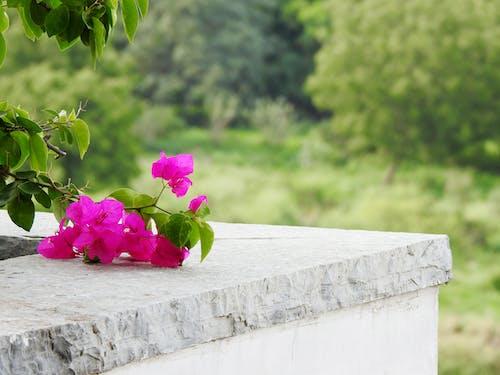 Ingyenes stockfotó bougainvilleas, élénk színek, gyönyörű virágok, kőmunkát témában