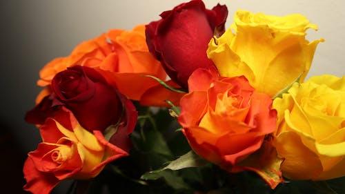 一束花, 天性, 慶祝, 玫瑰 的 免费素材照片