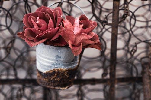 Ingyenes stockfotó ón, rózsák, virág a potban, virágok egy ónban témában