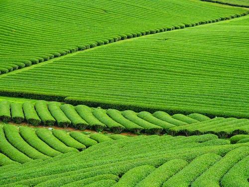 Foto d'estoc gratuïta de agricultura, camp, camps de cultiu, collita