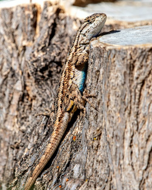 Imagine de stoc gratuită din amestecând, reptilă, șopârlă