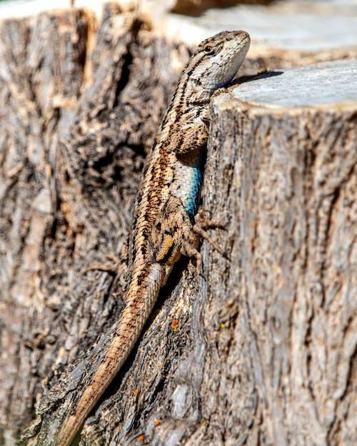 Fotos de stock gratuitas de lagartija, mezclándose, reptil