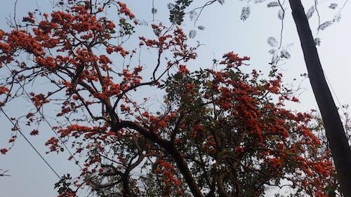 Free stock photo of flower, flower tree, krisnocura