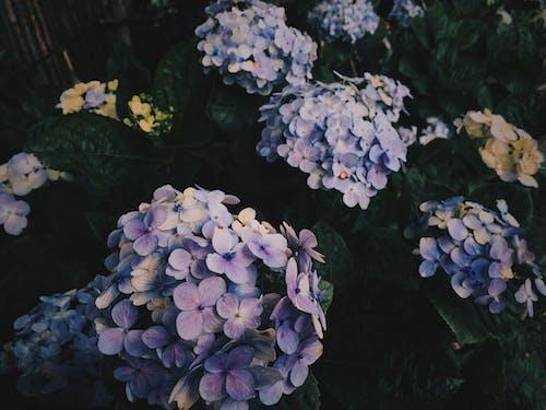 Безкоштовне стокове фото на тему «гортензія, застуда, квіти, квітка»