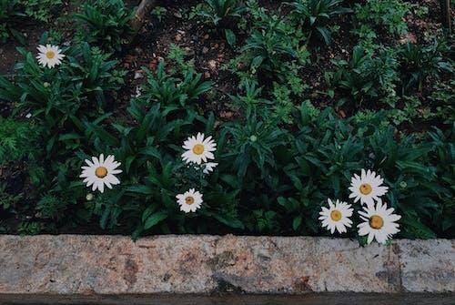 Безкоштовне стокове фото на тему «білий, білі квіти, зелений, квіти»