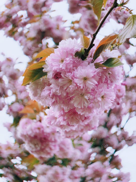 άνθη κερασιάς, ανθίζω, ανθισμένος