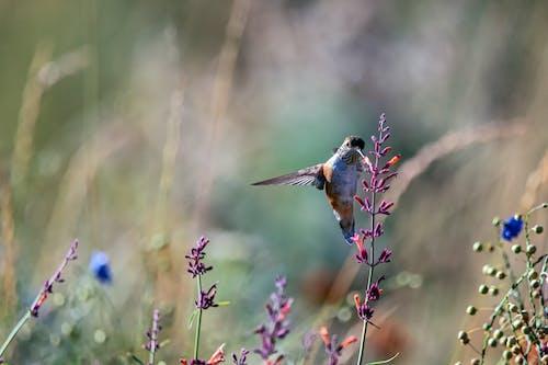 Imagine de stoc gratuită din bokeh, colibri, flori, în zbor