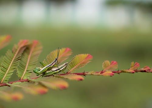 Бесплатное стоковое фото с кузнечик, насекомое, насекомые