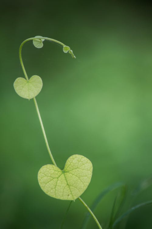 Free stock photo of climbing plant, green, heart shape, heart shaped