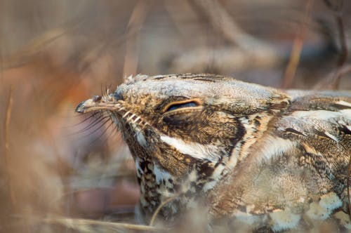 Free stock photo of bird, bird watching, Indian Nightjar