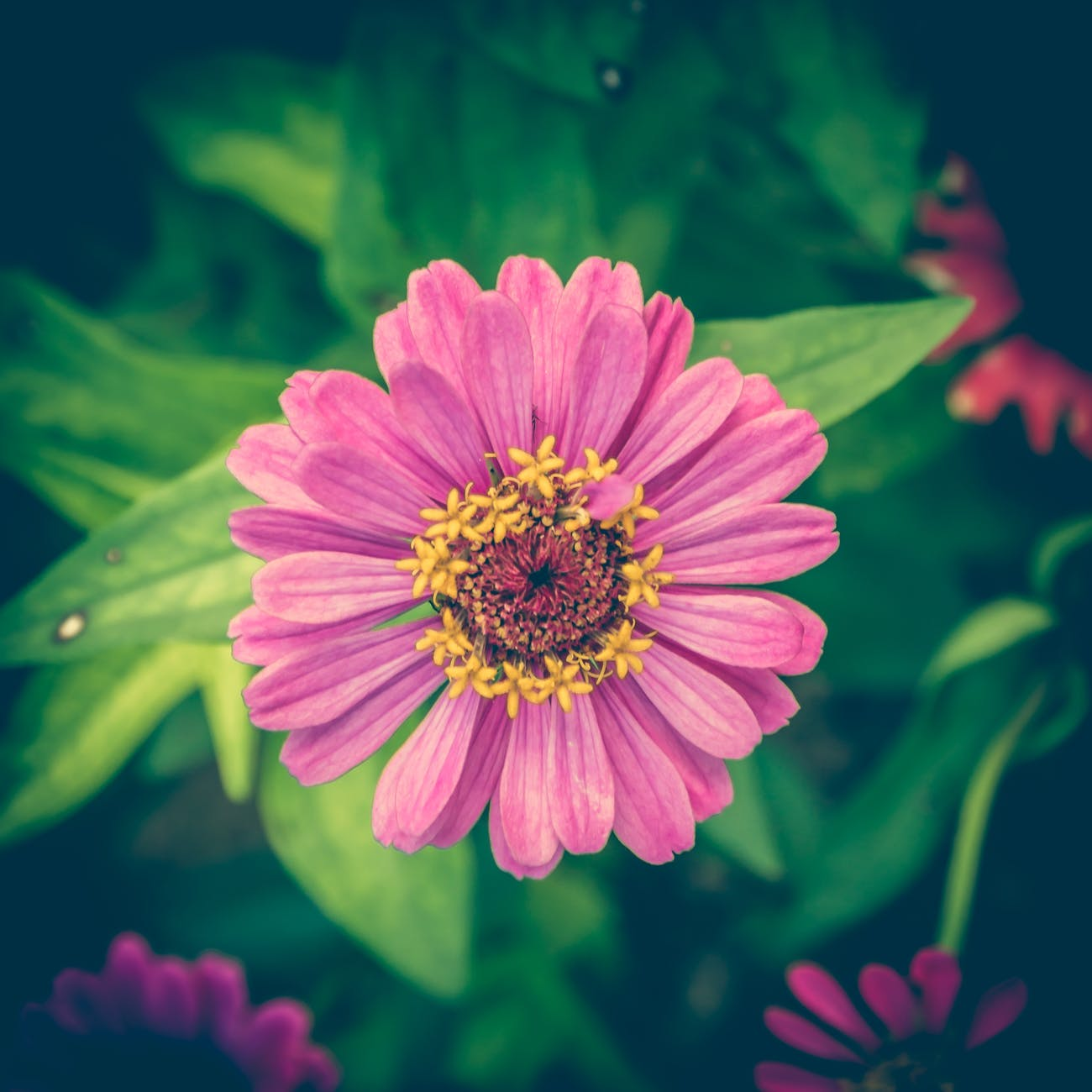 Zinnia | 63 Amazing Pest And Insect Repellent For Plants You Should Know