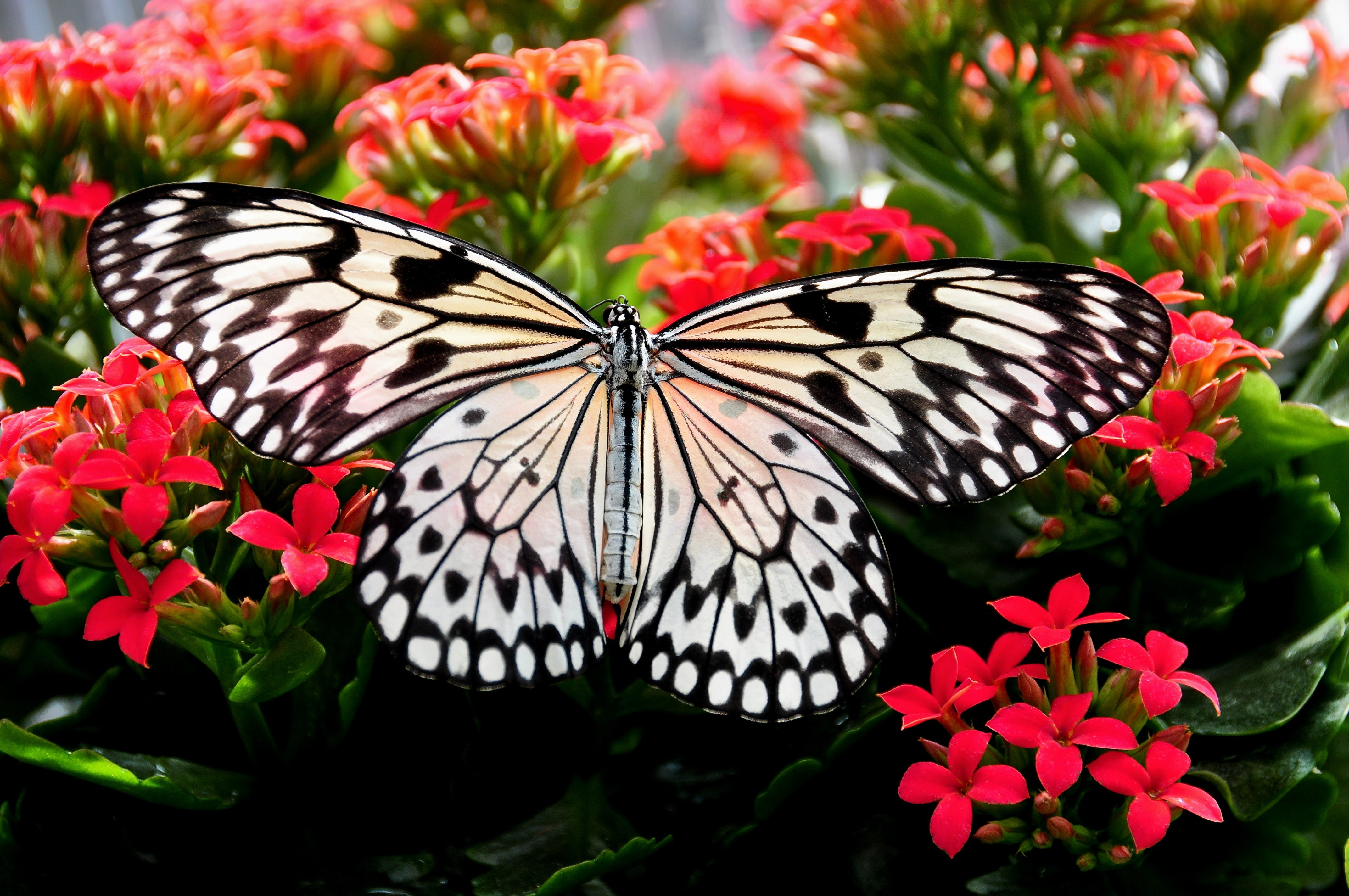 Paper Kite Butterfly Perching on Red Flower in Close-up Photography