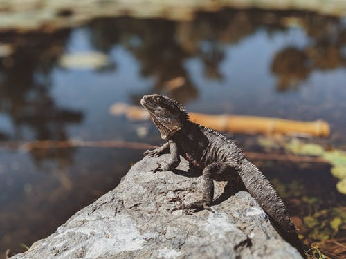 Photo Of Horned Lizard On Top Of Stone